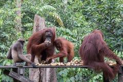 Orangutans. Orangutan in rain forest / indonesia Royalty Free Stock Photos