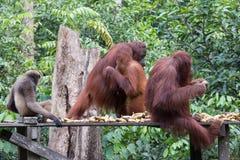 Orangutans. Orangutan in rain forest / indonesia Royalty Free Stock Photo