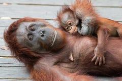 Orangutans. Orangutan in rain forest, orangutan with baby Stock Photos