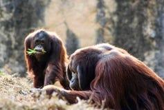 Orangutans. At Atlanta Zoo stock images