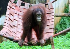 Orangutans. Are three extant species of great apes native to Indonesia and Malaysia royalty free stock photo