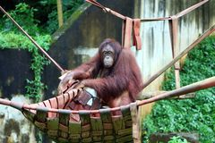 Orangutans. Are three extant species of great apes native to Indonesia and Malaysia stock image