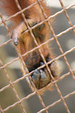 Orangutans Paw. Detail of a paw of orangutan held captive, holding a fence Royalty Free Stock Images