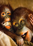 Orangutans playing Royalty Free Stock Images