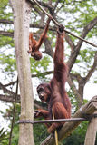 Orangutans playing. Picture taken in the Singapore Zoo stock image