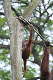 Orangutans playing. Picture taken in the Singapore Zoo stock photography