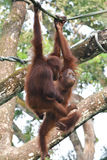 Orangutans playing. Picture taken in the Singapore Zoo stock photos