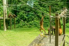 Orangutans playing at Rehabilitation Center royalty free stock photography