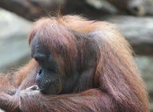 Orangutans Pongo Στοκ φωτογραφία με δικαίωμα ελεύθερης χρήσης