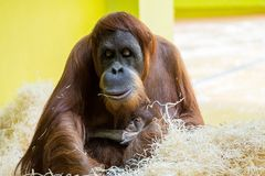 The orangutans, Pongo are three extant species of great apes stock images