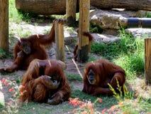 Orangutans rodzinny portret w wnętrzu Zdjęcie Stock