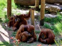 Orangutans rodzinny portret w wnętrzu Zdjęcia Royalty Free