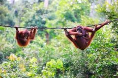 Orangutans from Sabah in Malaysian Borneo royalty free stock photo