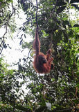 Orangutans Sumatran Στοκ φωτογραφία με δικαίωμα ελεύθερης χρήσης