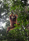 Orangutans Sumatran Στοκ Φωτογραφία