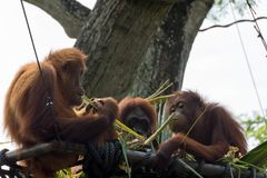 Family of orangutan playing in the trees with their kids royalty free stock images