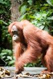Orangutan kalimantan tanjung puting national park indonesiaputing national park indonesia royalty free stock images