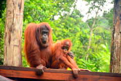 Orangutans. Are the two exclusively Asian species of extant great apes. Native to Indonesia and Malaysia,  are currently found in only the rainforests of Borneo royalty free stock photography