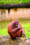 Orangutans. Are the two exclusively Asian species of extant great apes. Native to Indonesia and Malaysia,  are currently found in only the rainforests of Borneo stock image