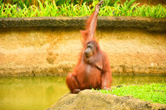 Orangutans. Are the two exclusively Asian species of extant great apes. Native to Indonesia and Malaysia,  are currently found in only the rainforests of Borneo royalty free stock photos