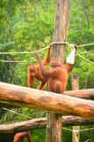 Orangutans. Are the two exclusively Asian species of extant great apes. Native to Indonesia and Malaysia,  are currently found in only the rainforests of Borneo royalty free stock photo