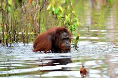 Orangutans who are bathing in the river. With solitude without friends royalty free stock image