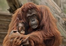 Orangutans at Zoo Tampa at Lowery Park. A protective mother orangutan cradles her newborn at Zoo Tampa at Lowery Park on Florida`s Gulf Coast. Most of the zoo`s royalty free stock images