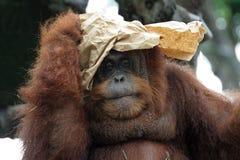 orangutanstående Arkivbild