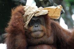 orangutanstående Arkivbilder