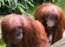 orangutansumatran Arkivfoto