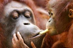 orangutany Fotografia Royalty Free