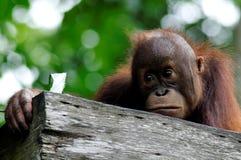 Orangután del bebé Imagenes de archivo