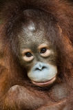 Orangután del bebé Imagen de archivo libre de regalías