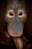 Orangután en peligro del primate Imagen de archivo