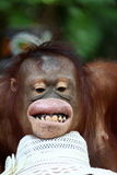 Oranguton Stock Photo