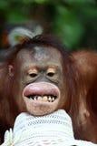 Oranguton stock photo