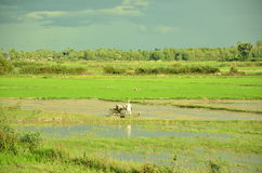 Orania ricefield Obraz Royalty Free