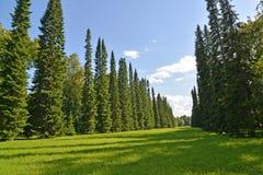 Oranienbaum, Rússia Abeto аvenue no parque superior imagem de stock