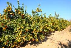 Oranje aanplanting Stock Afbeeldingen