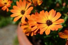 Oranje Afrikaanse madeliefjes stock fotografie