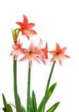 Oranje Amaryllis Royalty-vrije Stock Foto's
