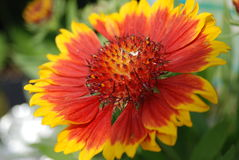 Oranje & Gouden Bloem Royalty-vrije Stock Afbeeldingen