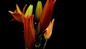 Oranje Aziatische Lily Flower Timelapse stock videobeelden