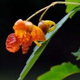 Oranje balsem (Impatiens-capensis) stock foto