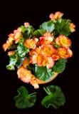 Oranje Begonia Royalty-vrije Stock Foto
