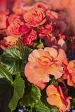 Oranje Begonia's Royalty-vrije Stock Afbeelding