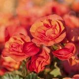 Oranje Begonia's Stock Foto's