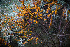 Oranje bessen op de takken Royalty-vrije Stock Fotografie
