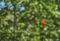 Oranje bessen op een tak royalty-vrije stock fotografie