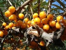 Oranje bessen overzees-wegedoorn - macro Stock Afbeeldingen
